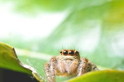 Spiders jumping orange in nature in macro view. Focus on large eyes around the head Royalty Free Stock Image