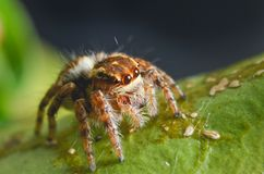 Spiders jumping orange in nature in macro view. Focus on large eyes around the head Royalty Free Stock Images