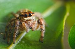 Spiders jumping orange in nature in macro view. Focus on large eyes around the head Royalty Free Stock Photography
