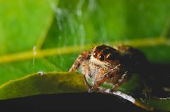 Spiders jumping orange in nature in macro view. Focus on large eyes around the head Royalty Free Stock Photos