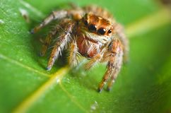 Spiders jumping orange in nature in macro view. Focus on large eyes around the head Stock Photos