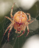 Spiders in the nature Royalty Free Stock Photo