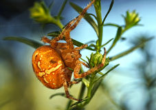 Spiders in the nature Royalty Free Stock Image