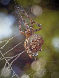 Spiders in the nature Royalty Free Stock Images