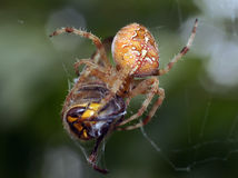 Spiders in the nature Royalty Free Stock Photography