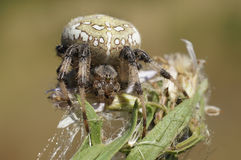 Spiders in the nature Royalty Free Stock Photos