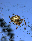 Spiders in the nature Stock Images