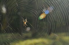 Spider Web. A spider building its net in a morning somewhere in a wild nature Royalty Free Stock Images