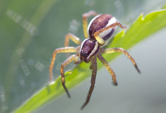 Spiders stray - Pisauridae. This large spiders with long legs. They did not weave the web, hunt looking for prey in the dense grass or sitting in ambush Stock Images