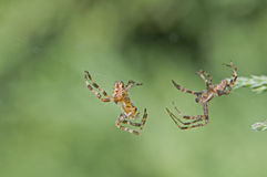 Spiders about to fight Royalty Free Stock Photography