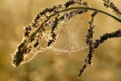 Spiders web at autumn sunrise Stock Image