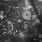 Spiders web, bw Stock Photography