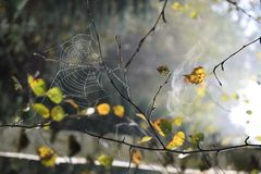 Spiders web on the twig. Indian summer. Dew drops in sun. Indian summer with drop of dew. Beauty of autumn morning leaves. Dew on spider`s web in sunlight. Water Stock Photos