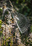 Spiders Web with Water Drops on the Meadow Stock Image