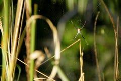 SpidersArgiope versicolor στους Ιστούς Στοκ εικόνα με δικαίωμα ελεύθερης χρήσης