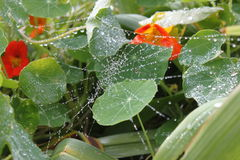 Spidersweb Image libre de droits