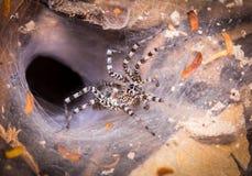 Spiderweb с черно-белым пауком в лесе Стоковая Фотография RF