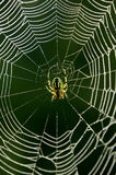 Spiderweb Stockfotos