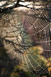 Spiderweb. In tree on sunrise Stock Images