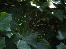 Spiderweb. In a bush Royalty Free Stock Photos