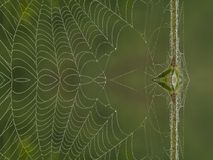 Spiderweb. Morning spiderweb with water drops Royalty Free Stock Images