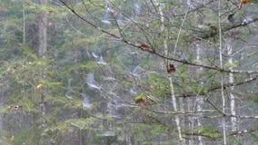 Spiderweb auf Baumaste stock video footage