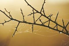 Spiderweb auf Dornenbusch lizenzfreie stockbilder