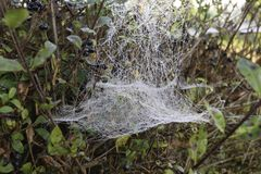 Spiderweb auf einer Hecke Stockfotografie