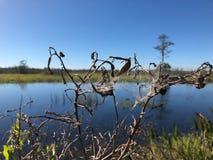 spiderweb auf Unkräutern im Sumpf Stockbild