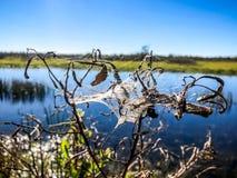 spiderweb auf Unkräutern im Sumpf Lizenzfreie Stockfotografie