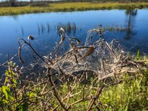 spiderweb auf Unkräutern im Sumpf Stockfotos