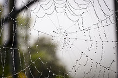 Spiderweb. Beautiful spiderweb with dew drops Royalty Free Stock Images