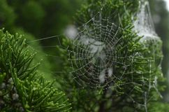 Spiderweb with dew on a green shrub. Spiderweb with beautiful dew on the green shrub in the summer morning. foggy weather and wet bush Royalty Free Stock Image
