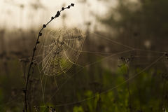 Spiderweb on the black plant Stock Photos