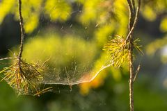 Spiderweb on a branch of pine stock photos