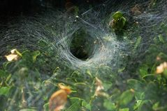 Spiderweb on a bush. Circle spiderweb on a bush Royalty Free Stock Images