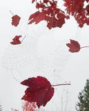 Spiderweb catches fall leaves. Fall leaves hide a spiderweb heavy with dew drops in the garden. The autumn sunrise lighting is masked with heavy fog Stock Image
