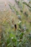 Spiderweb con rocío por la mañana Imagen de archivo