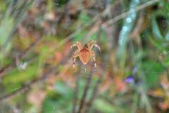 Spiderweb con una pequeña araña que se sienta en ella con el fondo colorido de la hierba Fotos de archivo libres de regalías