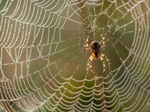 Spiderweb covered in dew drops royalty free stock photography