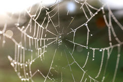 Spiderweb Covered in Morning Water Dew Droplets Royalty Free Stock Photo