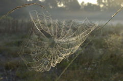 Spiderweb in Dawn Stock Fotografie
