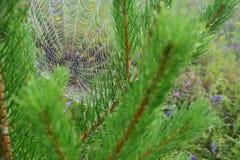 Spiderweb in de pijnboomtakken Stock Afbeeldingen