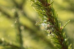 Spiderweb in den Tautropfen auf Fichtenzweig stockbilder