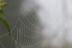 Spiderweb with droplets of dew Stock Image