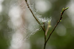 Spiderweb in droplets of water after rain on a willow branch with green buds Stock Image