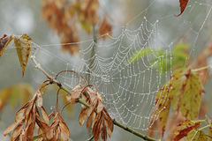 Spiderweb in drops of rain. Autumn. Royalty Free Stock Photo