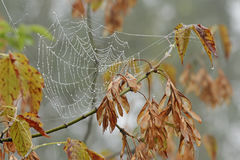 Spiderweb in drops of rain. Autumn. Royalty Free Stock Image