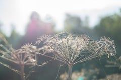 Spiderweb em uma grama seca fotos de stock