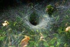 Spiderweb en un arbusto Imágenes de archivo libres de regalías